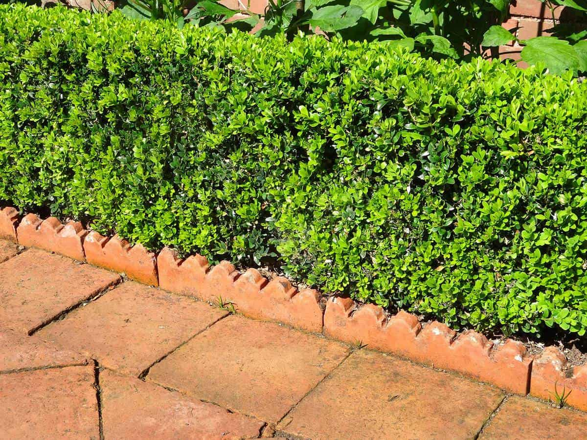 Neatly trimmed box hedging with evergreen buxus hedge, neat no dig edging