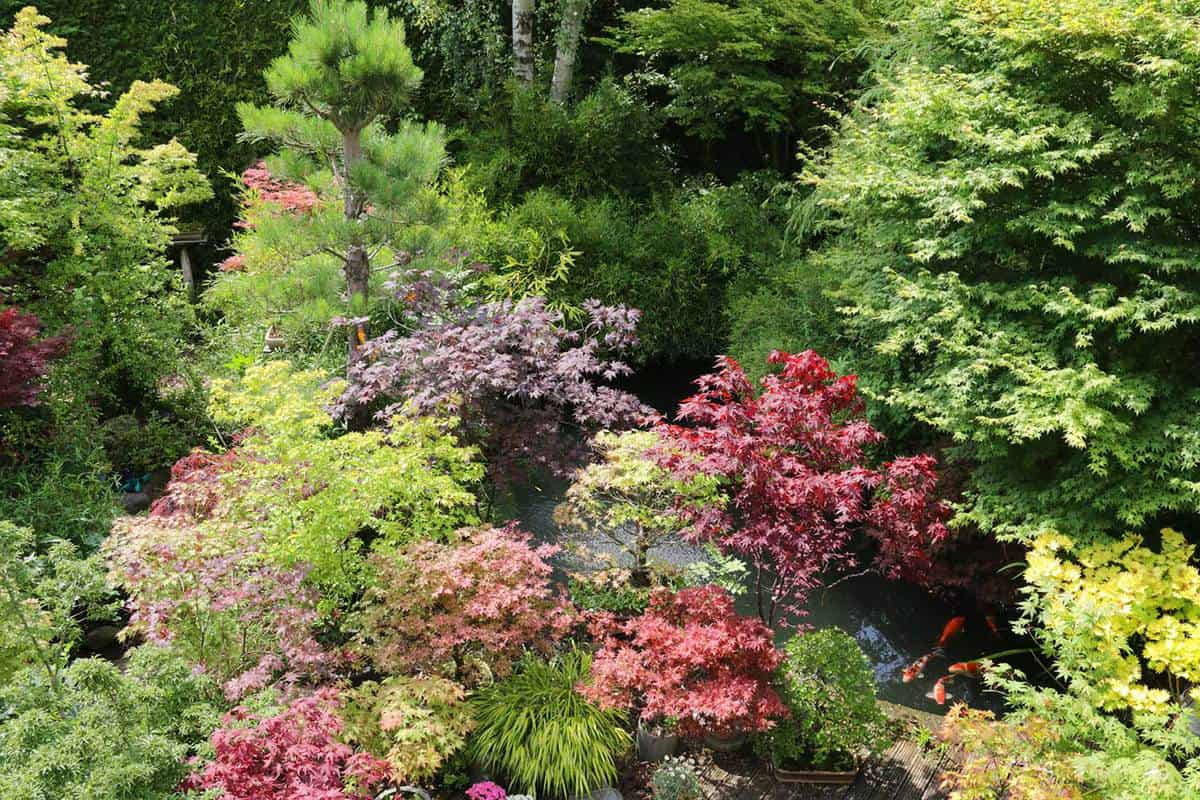 Ornamental japanese-style garden featuring bonsai japanese maples, silver birch surrounded by tall leylandi cypress conifer hedge forming a dense evergreen barrier