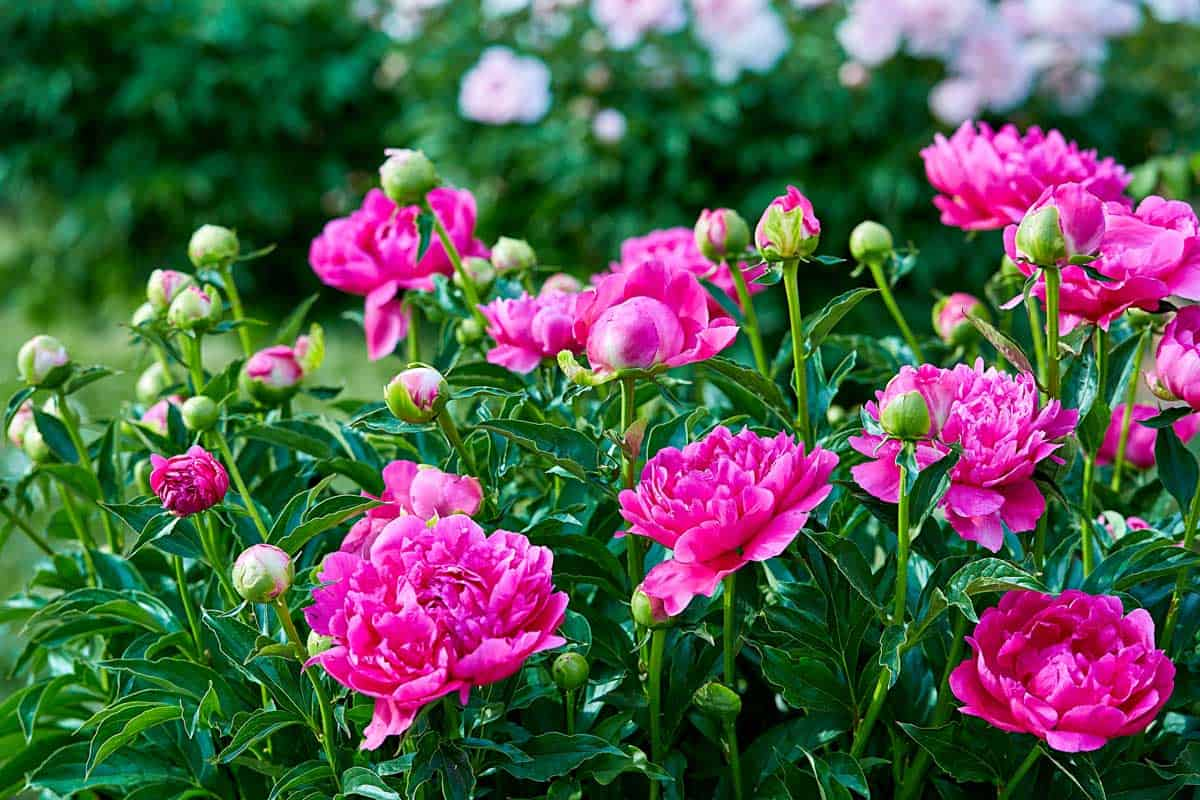 Pink-red-sunny-peony-flowers-in-botanical-garden-in-spring