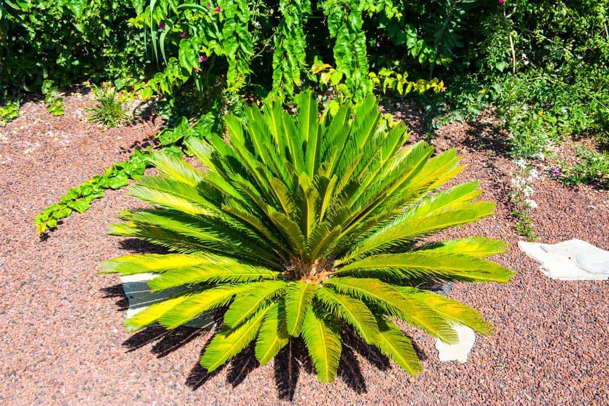 Popular-decorative-palm-Cycas-revoluta-in-the-garden