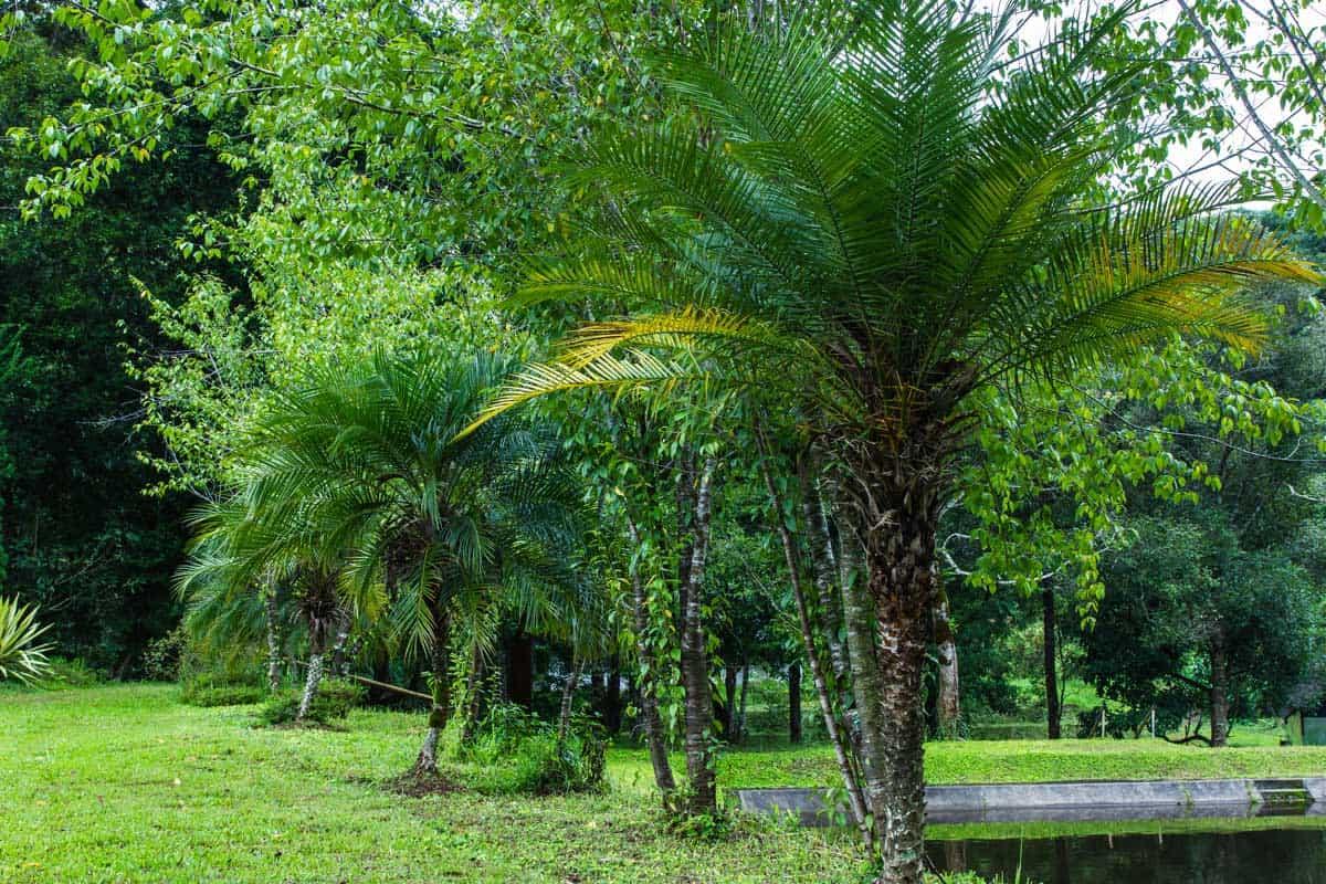 Pygmy Date Palm (Phoenix roebelenii) in the garden.