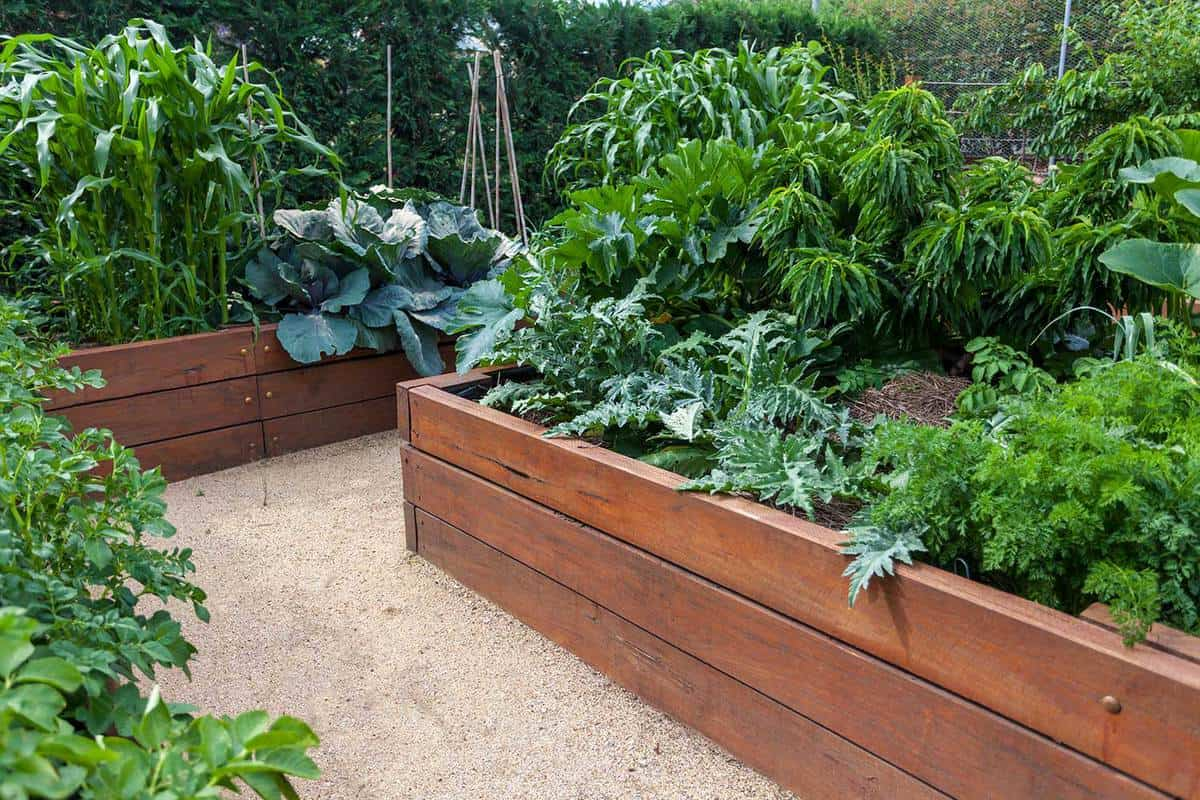 Raised wooden garden beds with healthy vegetables growing