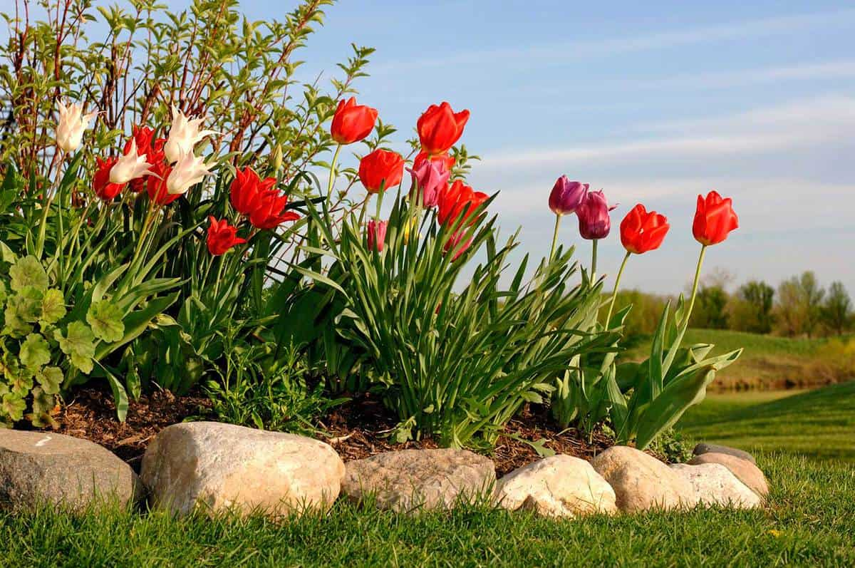 Tulips with beautiful blue sky background, tulips in a no dig edging