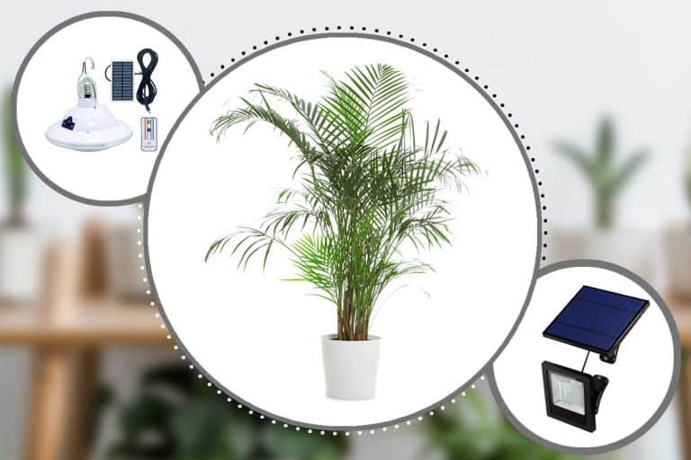 What Are The Majesty Palm's Light Requirements?