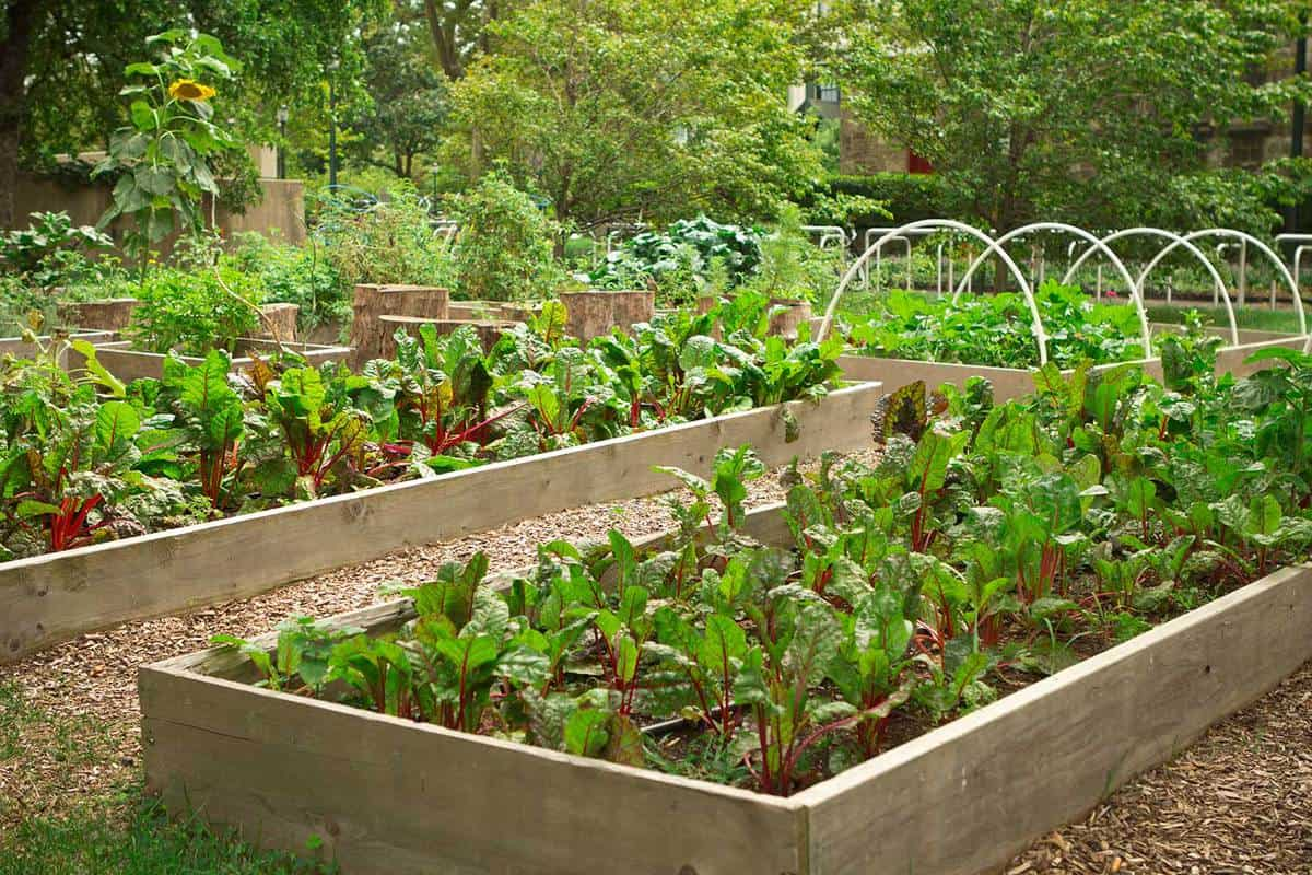 Urban community garden with raised beds full of vegetables