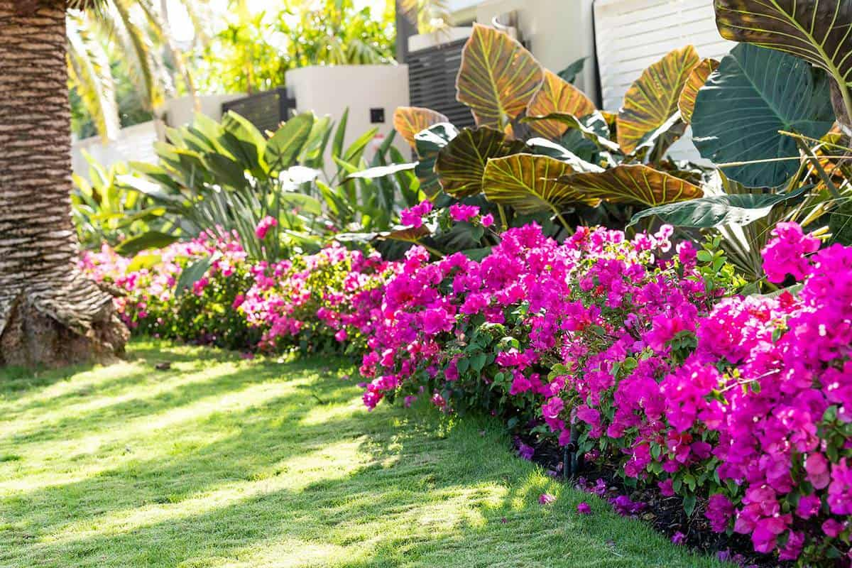 Vibrant pink bougainvillea flowers on a house garden in Florida