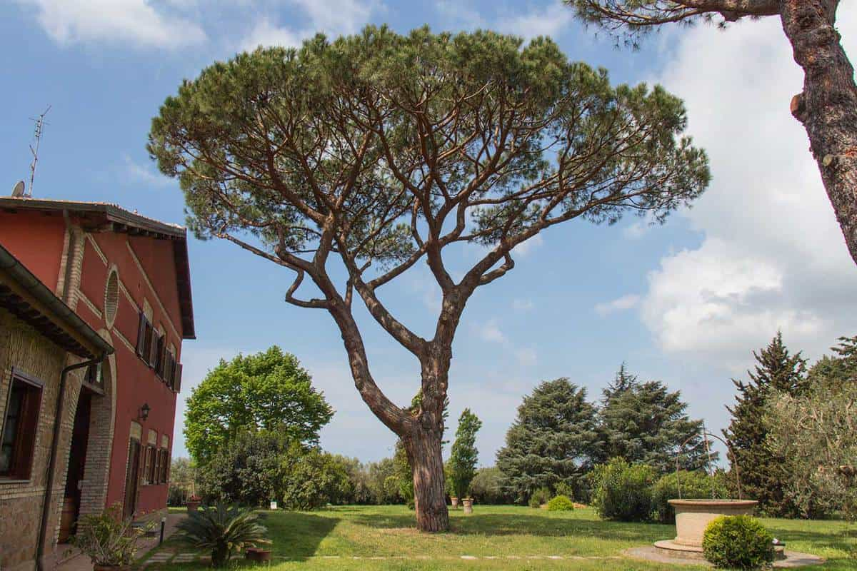 View of a pine tree on backyard in a sunny day