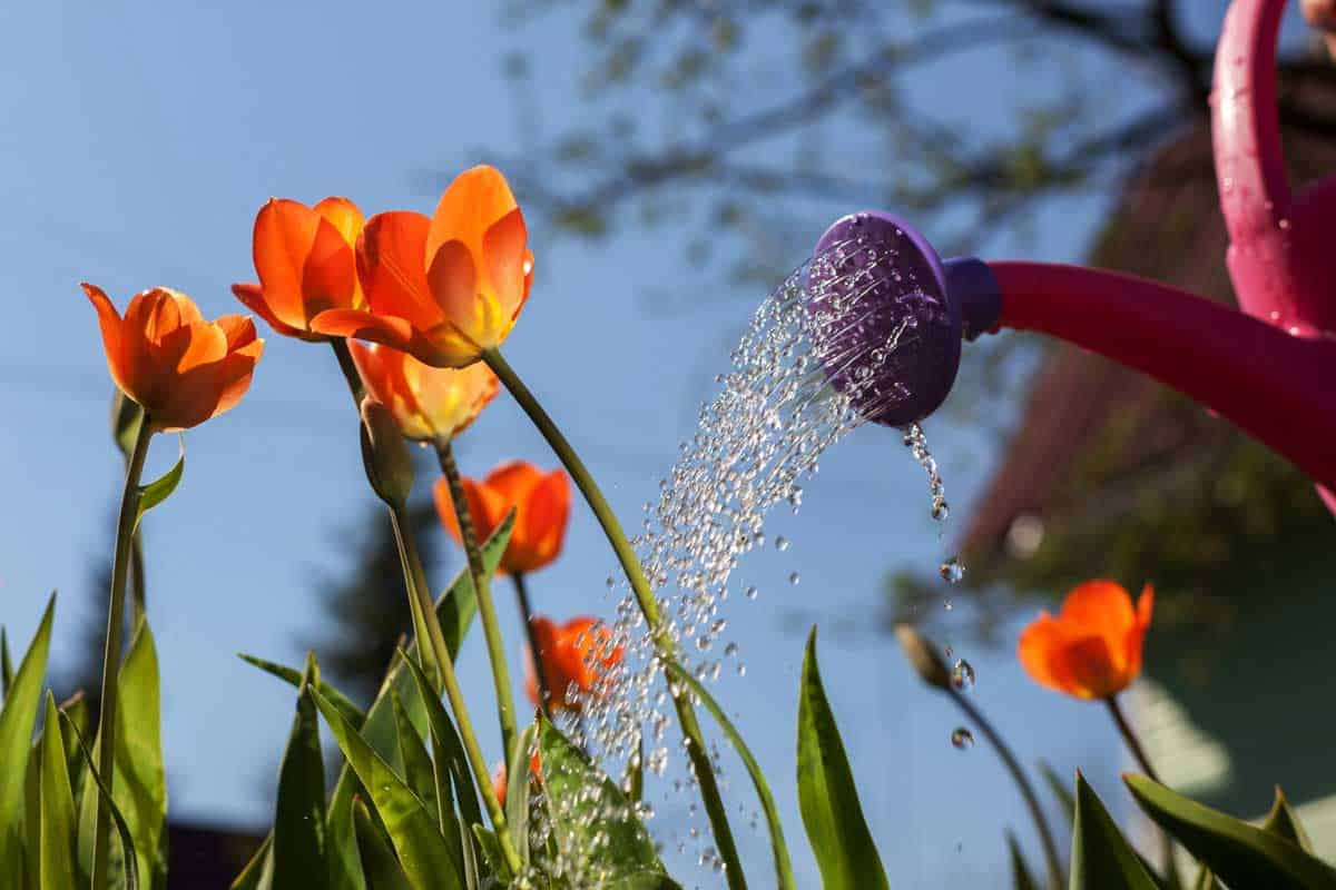 Watering-tulips-at-morning