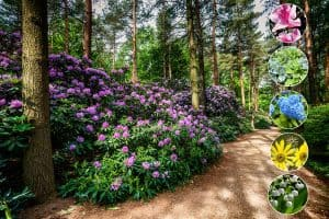 Blooming rhododendron garden under the pine trees, What-to-Plant-Under-Pine-Trees