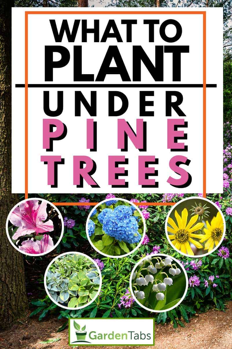 What-to-Plant-Under-Pine-Trees