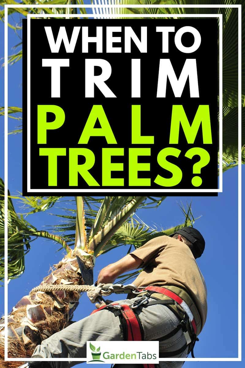 When to Trim Palm Trees?
