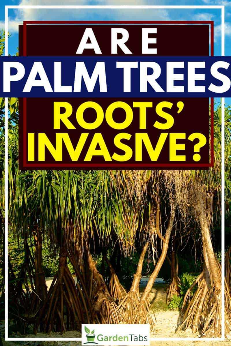 Are Palm Trees' Roots Invasive?