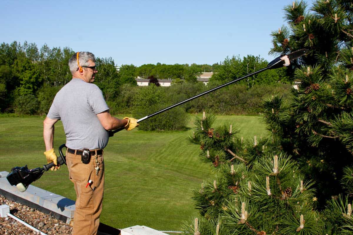 Caretaker cutting pine tree branches from a roof top with a chainsaw
