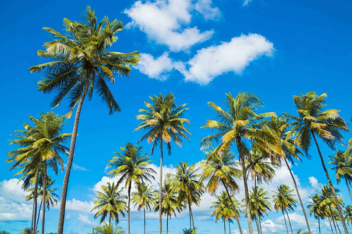 Coconut Palm Tree under the blue sky