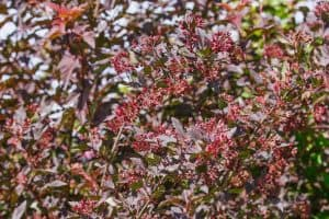 8 Shrubs That Have Red Leaves All Year