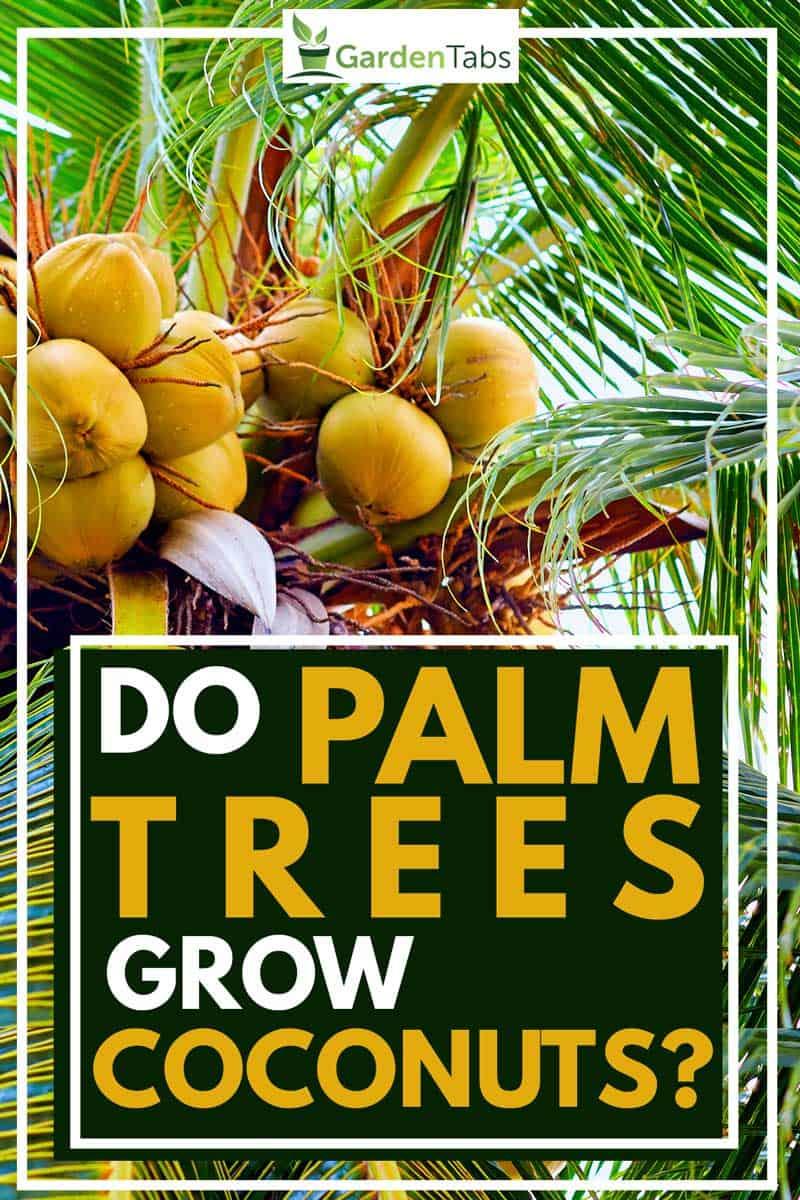 Do Palm Trees Grow Coconuts