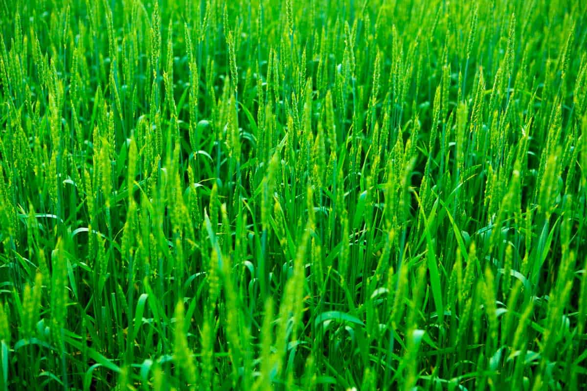 Green rye grass field on cloudy day.