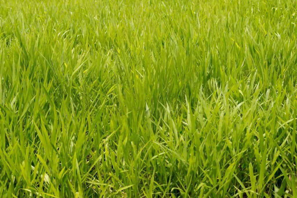 Green ryegrass pasture upclose photograph