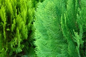 22 Small Evergreen Trees for Landscaping