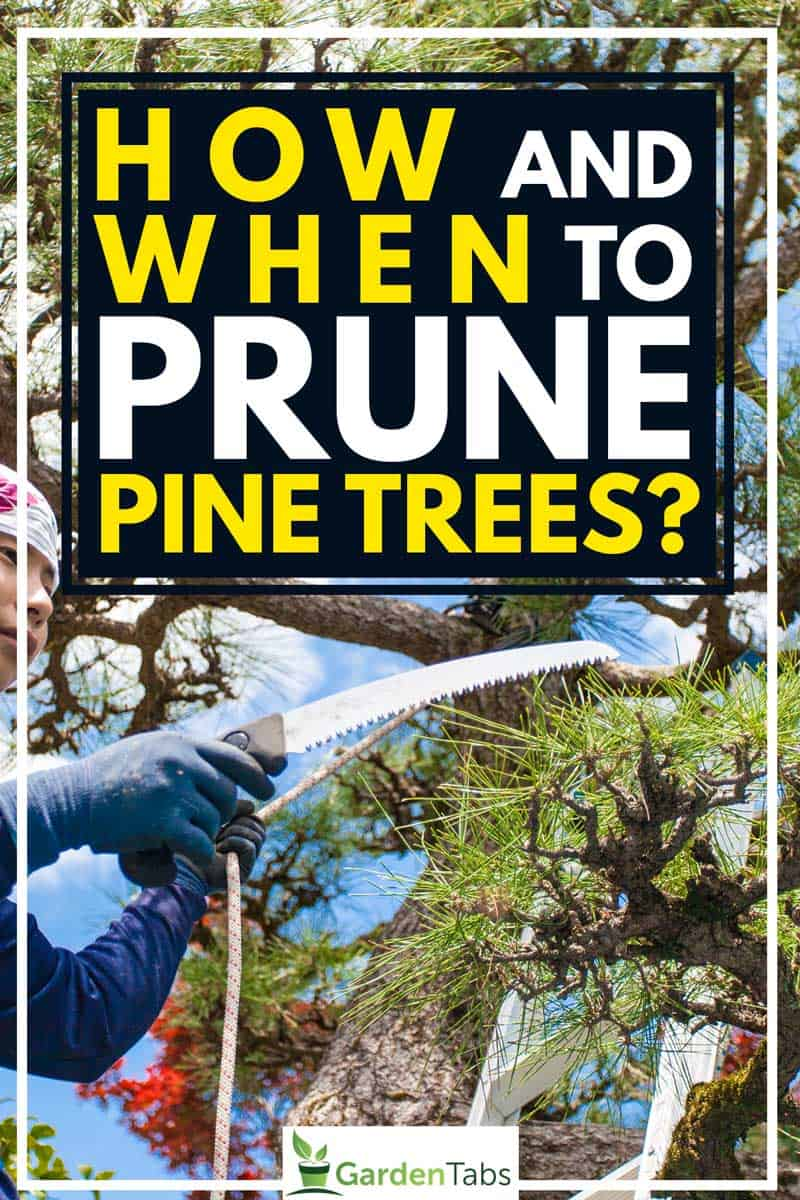 How And When To Prune Pine Trees