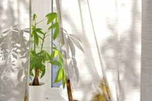 Money Tree Plant on Bright House Window Sill, How Big Do Money Trees Get? (Pachira Aquatic Facts)
