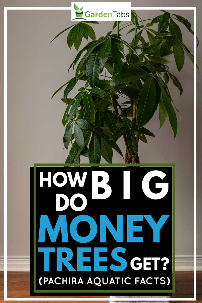 Portrait Shot of a Money Tree against a Grey Background, How Big Do Money Trees Get? (Pachira Aquatic Facts)