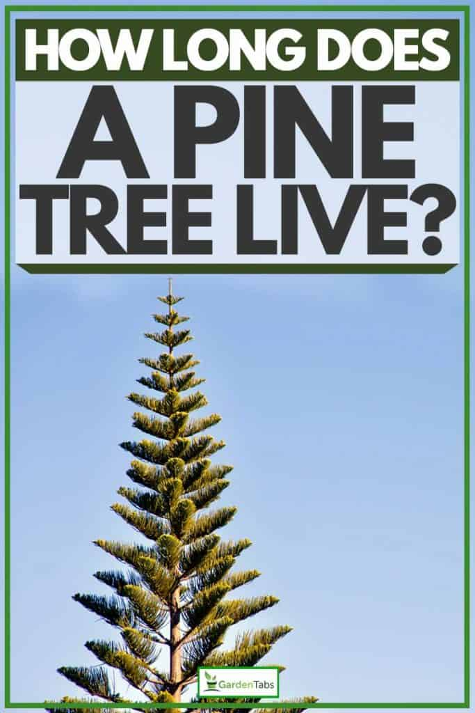 Tall norfolk Island Pine tree