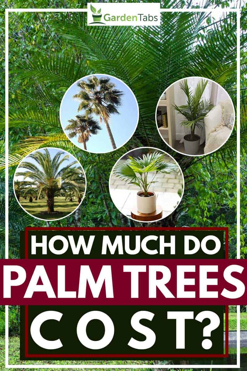 How Much Do Palm Trees Cost Garden Tabs