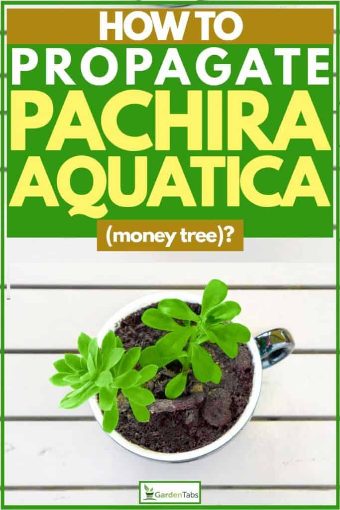 Small pachira aquatica on cup filled with soil and wooden background