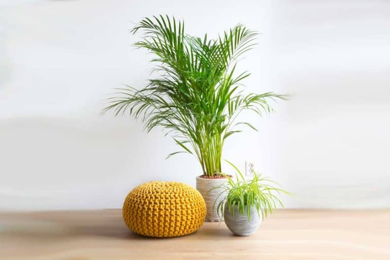 Indoor Majesty Palm Fertilizer: Which To Choose?