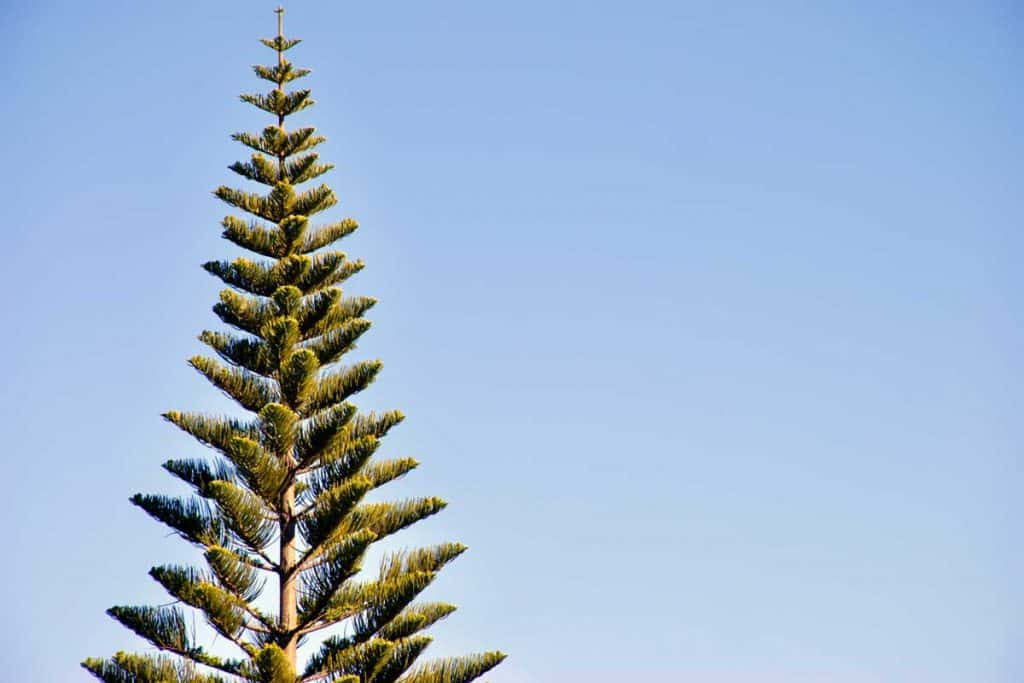 Norfolk Island Pine tree and blue skies at background