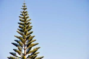 How Long Does a Pine Tree Live?