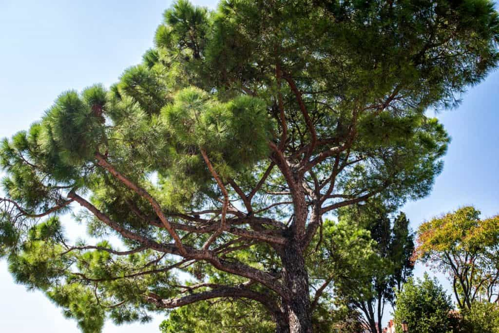 Italian Stone Pine tree photograph at early daylight