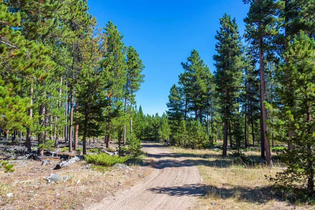 Lodgepole Pine tree forest in Bighorn National Forest in Wyoming