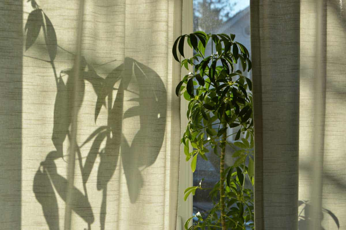 Money Tree Plant Leaves Shadow and Sun Light by the House Window Sill