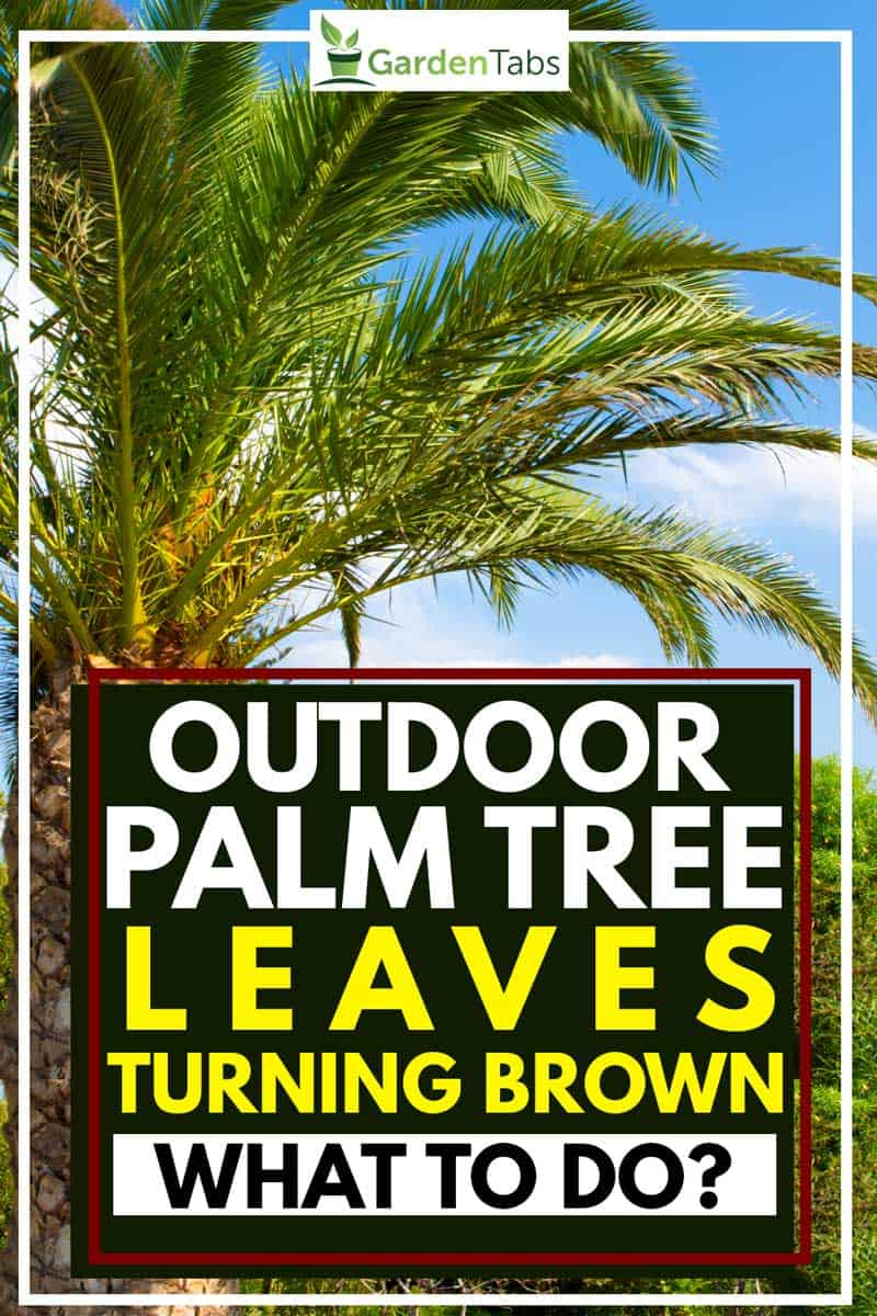 Outdoor palm tree leaves turning brown - what to do?