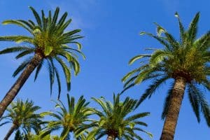 How Long Do Palm Trees Live? [And how to tell their age]