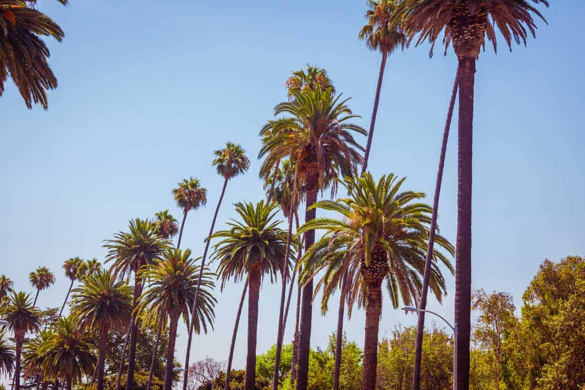 Palms of Beverly Hills Los Angeles California in vintage tone