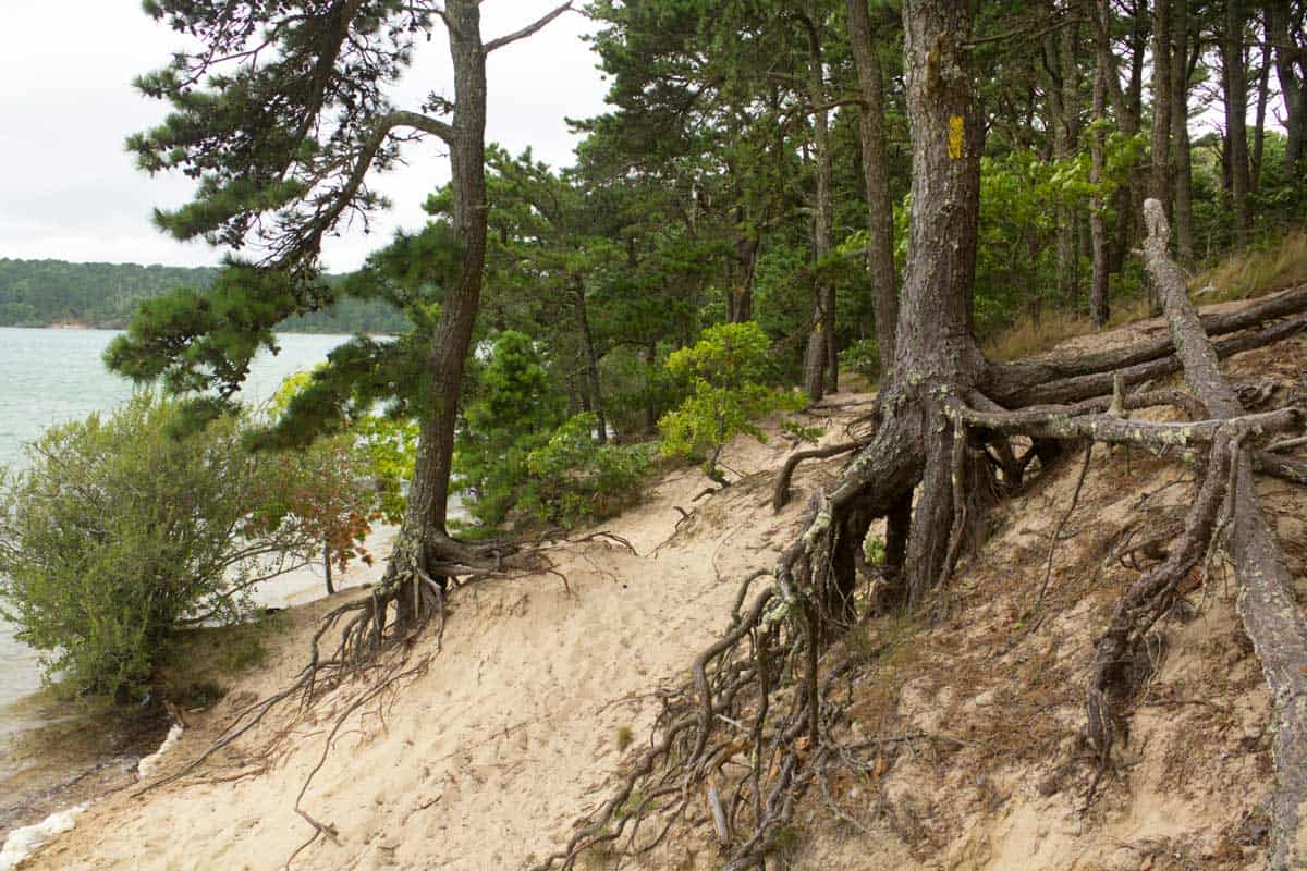 Pine Tree roots stabilize the sand dunes on the shore near the village