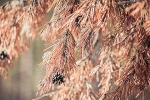 Why Is My Pine Tree Dying? [Common Reasons Explained]