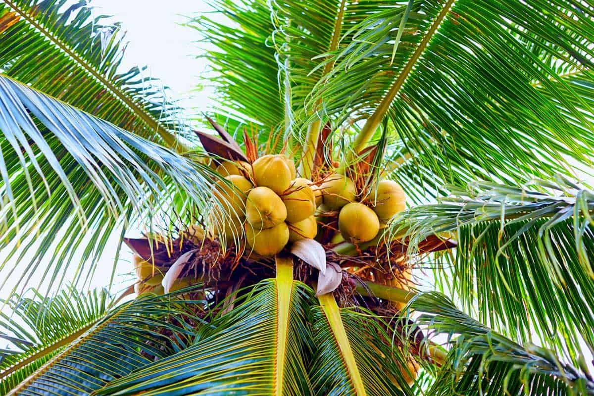 Ripe coconuts hanging on palm tree in tropical garden