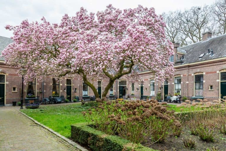 What Is a Tulip Tree? [Inc. Examples and Care Tips]