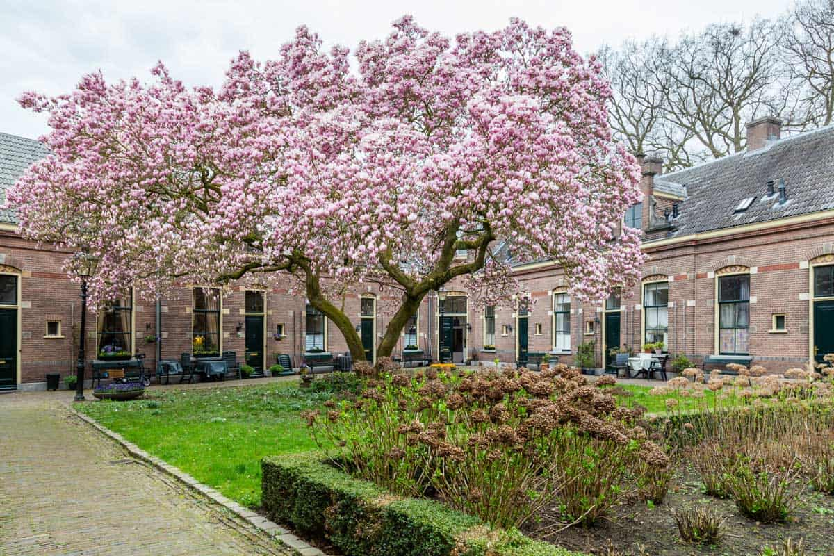 Row of medieval little houses with a pink bllooming tulip tree
