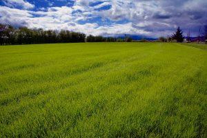 When Does Annual Ryegrass Die?