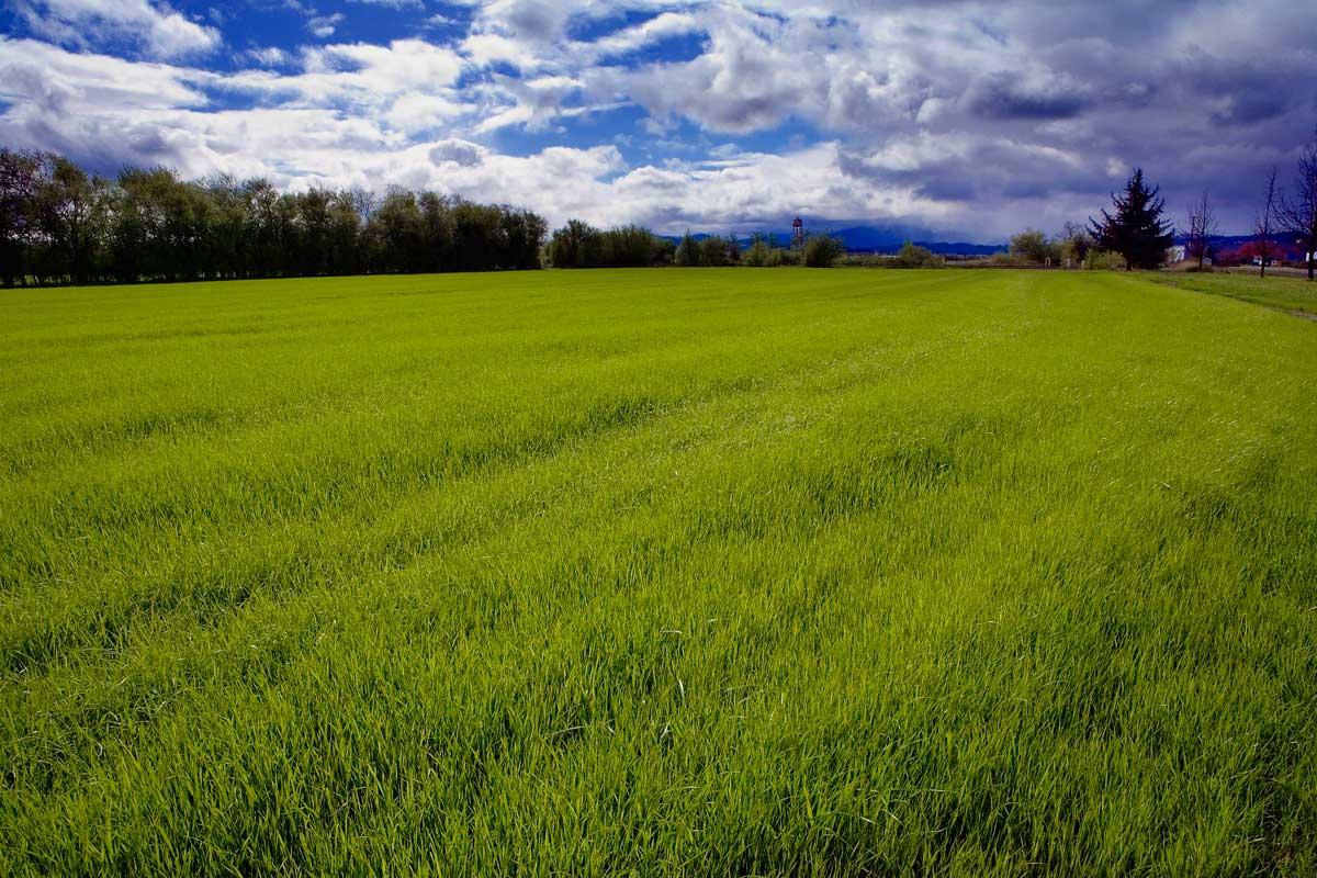 Spring Ryegrass Field