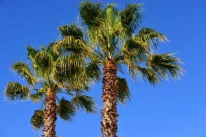 How to Care for Palm Trees in Florida?