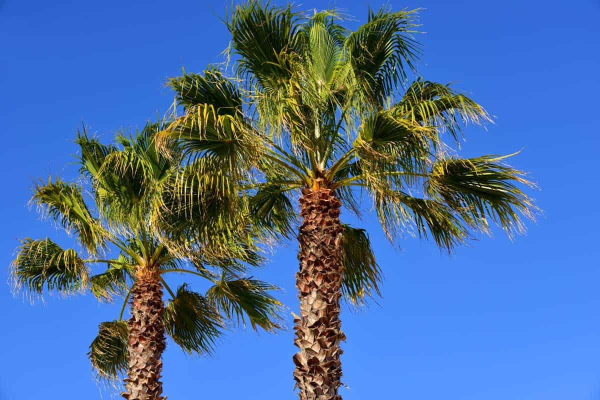 Trachycarpus fortunei palms against blue sky (Chusan palm, windmill palm or Chinese windmill palm), How to Care for Palm Trees in Florida