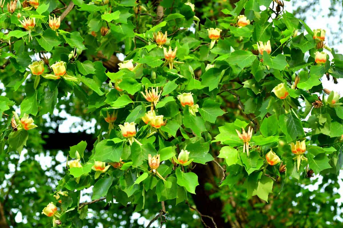 Tulip tree or poplar tree (Liriodendron tulipifera) is large deciduous tree, native to eastern North America
