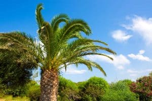 Outdoor Palm Tree Leaves Turning Brown – What to Do?