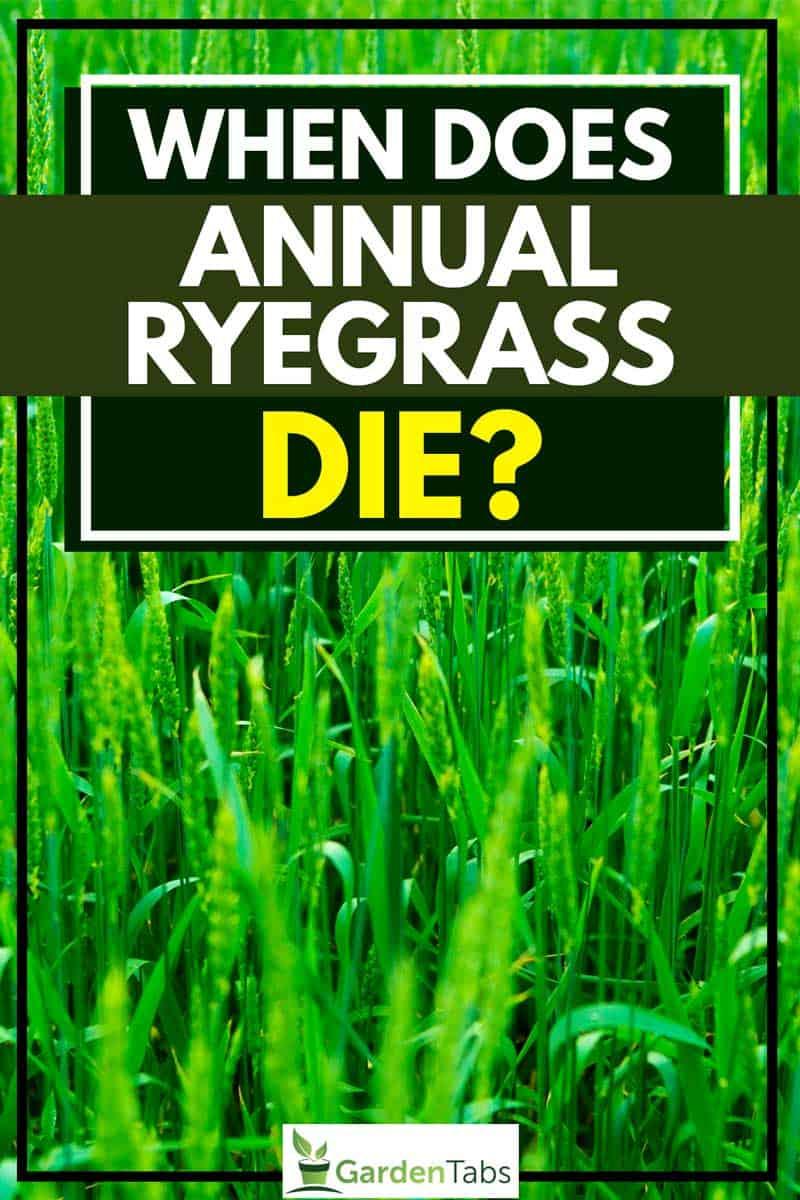When Does Annual Ryegrass Die
